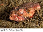 Купить «Crocodile snake eel (Brachysomophis crocodilinus) hiding in sand, Pura Vida House Reef, Dumaguete, East Negros Island, Central Visayas, Philippines, Pacific Ocean.», фото № 28547592, снято 15 августа 2018 г. (c) Nature Picture Library / Фотобанк Лори