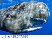 Купить «Sperm whale (Physeter macrocephalus) portrait, with remora fish, Dominica, Caribbean Sea, Atlantic Ocean, Vulnerable.», фото № 28547620, снято 19 августа 2018 г. (c) Nature Picture Library / Фотобанк Лори