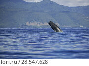 Купить «Sperm whale (Physeter macrocephalus) breaching, Dominica, Caribbean Sea, Atlantic Ocean, Vulnerable species.», фото № 28547628, снято 19 августа 2018 г. (c) Nature Picture Library / Фотобанк Лори