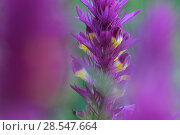 Купить «Field cow-wheat (Melampyrum arvense) in flower, Vosges, France, May.», фото № 28547664, снято 21 сентября 2018 г. (c) Nature Picture Library / Фотобанк Лори