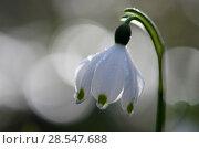 Купить «Spring snowflake flower (Leucojum vernum) with bokeh effect,  Vosges, France, March.», фото № 28547688, снято 20 июля 2018 г. (c) Nature Picture Library / Фотобанк Лори