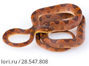 Купить «Cat-eyed snake (Leptodeira septentrionalis) from La Selva Biological Station, Costa Rica. Controlled conditions.», фото № 28547808, снято 14 августа 2018 г. (c) Nature Picture Library / Фотобанк Лори