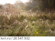 Купить «Spider (Araneae) webs on Umbellifers (Apiaceae) Yonne, Burgundy, France, October.», фото № 28547932, снято 10 декабря 2018 г. (c) Nature Picture Library / Фотобанк Лори