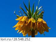 Купить «Рябчик императорский желтый (Fritillaria imperialis)», фото № 28548252, снято 11 мая 2015 г. (c) Ольга Сейфутдинова / Фотобанк Лори
