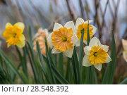 Купить «Нарциссы в весеннем саду», фото № 28548392, снято 4 мая 2018 г. (c) Ольга Сейфутдинова / Фотобанк Лори