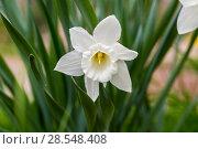 Купить «Нарциссы в весеннем саду», фото № 28548408, снято 4 мая 2018 г. (c) Ольга Сейфутдинова / Фотобанк Лори