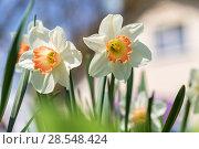 Купить «Нарциссы в весеннем саду», фото № 28548424, снято 5 мая 2018 г. (c) Ольга Сейфутдинова / Фотобанк Лори