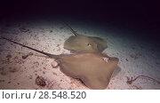 Купить «Two Pink whipray - Himantura fai on a sandy bed at night, Indian Ocean, Maldives», видеоролик № 28548520, снято 6 июня 2018 г. (c) Некрасов Андрей / Фотобанк Лори