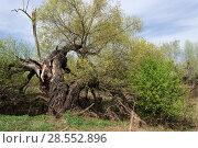 Купить «Старая упавшая ветла», фото № 28552896, снято 5 мая 2018 г. (c) Владимир Федечкин / Фотобанк Лори