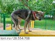 Puppy is trained at the dog Playground. Стоковое фото, фотограф Okssi / Фотобанк Лори
