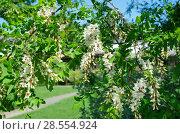 Купить «Цветущая белая акация», фото № 28554924, снято 28 мая 2018 г. (c) Елена Коромыслова / Фотобанк Лори