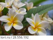 Купить «Плюмерия, цветок красивый и благоухающий», фото № 28556192, снято 19 января 2019 г. (c) Александр Романов / Фотобанк Лори