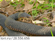 Купить «Lowland copperhead snake (Austrelaps superbus)  Tasmania, Australia», фото № 28556656, снято 15 августа 2018 г. (c) Nature Picture Library / Фотобанк Лори