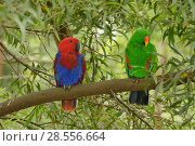 Купить «Eclectus parrot (Eclectus roratus) female on left and male on right, captive. Captive.», фото № 28556664, снято 18 августа 2018 г. (c) Nature Picture Library / Фотобанк Лори