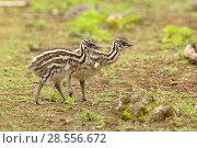 Купить «Emu (Dromaius novaehollandiae) chick, Victoria, Australia, October.», фото № 28556672, снято 18 августа 2018 г. (c) Nature Picture Library / Фотобанк Лори