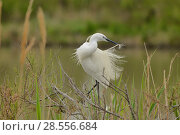 Купить «Little egret (Egretta garzetta) preening, Camargue, France, April.», фото № 28556684, снято 27 января 2020 г. (c) Nature Picture Library / Фотобанк Лори