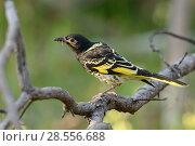 Купить «Regent honeyeater (Anthochaera phrygia) perched, Chiltern Forest, Victoria, Australia. Critically endangered.», фото № 28556688, снято 25 июня 2018 г. (c) Nature Picture Library / Фотобанк Лори