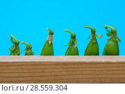 Купить «Стручки зелёного горошка на голубом фоне», фото № 28559304, снято 4 июня 2018 г. (c) V.Ivantsov / Фотобанк Лори