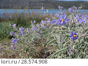 Купить «Silverleaf nightshade (Solanum elaeagnifolium) an invasive South and Central American species which produces toxic yellow fruits, flowering in profusion...», фото № 28574908, снято 20 мая 2019 г. (c) Nature Picture Library / Фотобанк Лори
