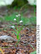 Купить «Sword-leaved helleborine (Cephalantheria longifolia). Apennines, Italy, May.», фото № 28574916, снято 23 октября 2019 г. (c) Nature Picture Library / Фотобанк Лори