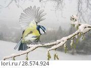 Купить «Blue tit (Parus caeruleus) alighting on a snowy hazel branch. Europe. Surrey, England, UK. Digital composite.», фото № 28574924, снято 22 августа 2019 г. (c) Nature Picture Library / Фотобанк Лори