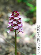Купить «Lady orchid (Orchis purpurea) growing beside a chalk stream. Apennines, Italy, May.», фото № 28574932, снято 23 октября 2019 г. (c) Nature Picture Library / Фотобанк Лори