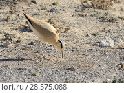 Купить «Cream-coloured courser (Cursorius cursor) bowing during courtship in steppe scrubland, Jandia Natural Park, Fuerteventura, Canary Islands, May.», фото № 28575088, снято 21 ноября 2019 г. (c) Nature Picture Library / Фотобанк Лори