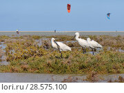 Купить «Three Eurasian spoonbills (Platalea leucorodia) resting on a small vegetated island in Sotavento lagoon with many kite surfers in the background, Fuerteventura, Canary Islands, May.», фото № 28575100, снято 16 июля 2018 г. (c) Nature Picture Library / Фотобанк Лори