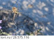Купить «Lobed argiope spider (Argiope lobata) on its web among roadside vegetation, near Nafplio, Argolis, Peloponnese, Greece, July.», фото № 28575116, снято 20 мая 2019 г. (c) Nature Picture Library / Фотобанк Лори