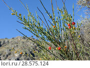 Купить «Poet's cassia / Osyris (Osyris alba) bush with red berries among coastal maquis scrubland. A plant in the mistletoe family semi-parasitic on the roots...», фото № 28575124, снято 20 мая 2019 г. (c) Nature Picture Library / Фотобанк Лори