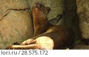 Купить «Fossa is cat-like mammal endemic to Madagascar», видеоролик № 28575172, снято 29 сентября 2017 г. (c) BestPhotoStudio / Фотобанк Лори