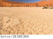 Купить «Deadvlei with dead Camel thorn tree (Vachellia erioloba) trees Namib-Naukluft National Park, Namib Desert, Namibia», фото № 28585964, снято 19 августа 2018 г. (c) Nature Picture Library / Фотобанк Лори