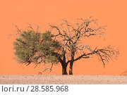 Купить «Camel thorn tree (Acacia erioloba) half dead and close to dune, Sossusvlei area, Namib-Naukluft National Park, Namib Desert, Namibia», фото № 28585968, снято 16 августа 2018 г. (c) Nature Picture Library / Фотобанк Лори