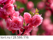 Купить «Flowering gardens in the spring. Beautiful gentle pink flowers on the trees», фото № 28586116, снято 3 апреля 2017 г. (c) Яна Королёва / Фотобанк Лори