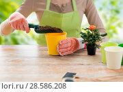Купить «close up of female gardener planting rose flower», фото № 28586208, снято 3 марта 2015 г. (c) Syda Productions / Фотобанк Лори