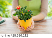 Купить «gardener hands holding flower pot with rose», фото № 28586212, снято 3 марта 2015 г. (c) Syda Productions / Фотобанк Лори