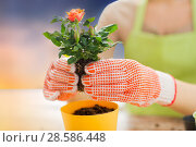 Купить «close up of woman planting rose to flower pot», фото № 28586448, снято 3 марта 2015 г. (c) Syda Productions / Фотобанк Лори