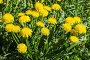 Купить «Цветущий одуванчик на весенней лужайке крупным планом», фото № 28587396, снято 25 мая 2018 г. (c) Наталья Волкова / Фотобанк Лори