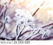 Купить «Puzyreplodnik kalinolistny, Physocarpus opulifolius», фото № 28589580, снято 22 января 2016 г. (c) Любовь Назарова / Фотобанк Лори