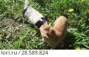 Купить «Beautiful amusing chihuahua puppy playing on green lawn stock footage video», видеоролик № 28589824, снято 13 июня 2018 г. (c) Юлия Машкова / Фотобанк Лори