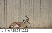 Купить «Dorcas gazelle (Gazella dorcas)», видеоролик № 28591232, снято 15 февраля 2018 г. (c) BestPhotoStudio / Фотобанк Лори