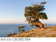 Купить «Реликтовые можжевельники (Juniperus excelsa), освещенные утренним солнцем, на склоне горы над морем. Караул-Оба, Новый Свет, Крым.», фото № 28592564, снято 2 сентября 2017 г. (c) Сергей Рыбин / Фотобанк Лори