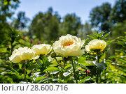 Купить «Пион межвидовой гибрид Лемон Шиффон. Herbaceous Peonies 'Lemon Chiffon' in flower», фото № 28600716, снято 3 июня 2018 г. (c) Ольга Сейфутдинова / Фотобанк Лори