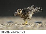 Купить «Peregrine Falcon ( Falco peregrinus ), young bird on a graveled roof, shaking rain drops out off its feathers, plumage, wildlife, Europe.», фото № 28602124, снято 19 июня 2015 г. (c) age Fotostock / Фотобанк Лори