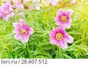 Купить «Пион травянистый. Цветение в начале лета», фото № 28607512, снято 16 июня 2018 г. (c) Наталья Осипова / Фотобанк Лори