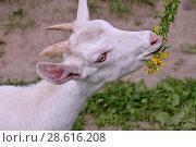 Купить «Белая коза ест цветы», фото № 28616208, снято 21 июня 2018 г. (c) Илюхина Наталья / Фотобанк Лори