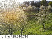 Spring in the foothills of Black Forest, resort town, Sasbachwalden, Germany, vineyard and blooming fruit trees, Black Forest kirsch trees. Стоковое фото, фотограф Jürgen Feuerer / age Fotostock / Фотобанк Лори