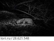Купить «Otter (Lutra lutra) at night, infra red image. Loutre, Mayenne, France. November.», фото № 28621548, снято 15 августа 2018 г. (c) Nature Picture Library / Фотобанк Лори