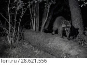 Купить «Racoon (Procyon lotor) male at night, infra red  image, France. Introduced species.», фото № 28621556, снято 16 августа 2018 г. (c) Nature Picture Library / Фотобанк Лори