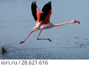 Купить «Greater flamingo (Phoenicopterus roseus) taking off from lagoon, Camargue, France. February», фото № 28621616, снято 19 августа 2018 г. (c) Nature Picture Library / Фотобанк Лори